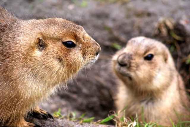 animals-prairie-dogs-rodents.jpg
